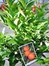 Mandarinenbaum (Hernandina Clementine) - Citrus clementino (2)