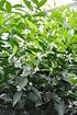 Mandarinenbaum (Mittelmeer Mandarine) - Citrus deliciosa (2)