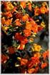 Marmeladenbusch Kanarenblümchen - Streptosolen jamesonii (2)