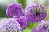 Mein schöner Garten Blumenwiebel-Mix 'Happy Butterfly' (2)