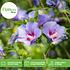 Mein schöner Garten Hibiscus 3er-Set 'Summer Nights' (2)