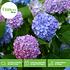 Mein schöner Garten Hortensien 3er-Set 'French Kiss' (4)