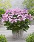 Mein schöner Garten Hortensien Doppio 2-er Set 'Pastel Delight' (2)