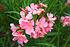 Mein schöner Garten Oleander Nerium auf Stamm (2)