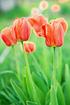 Mein schöner Garten Tulpen Zwiebeln 35 Stück (2)