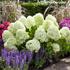 Mein schöner Garten XXL Rispenhortensie 'Limelight' (2)