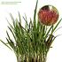Mein schöner Garten Ziergras 'Red Baron' (2)