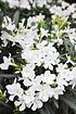 Oleander (weiß) (2)