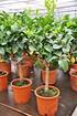 Orangenbaum (Blutorange) - Citrus sinensis (2)