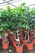 Orangenbaum (Fukumoto) - Citrus sinensis Fukumoto (2)
