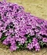 "Phlox ""Eye Shadow"",3 Pflanzen (2)"