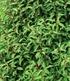 Portugiesischer Kirschlorbeerca. 40 cm hoch,1 Pflanze (2)