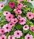 "Rosa Thunbergia ""Pink Surprise"",2 Pflanzen (2)"