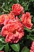 Rose Lady Penelope (im grossen Container) (2)