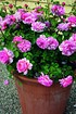 Rose Princess Alexandra of Kent® (im grossen Container) (2)