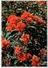 Roter Eucalyptus Eucalyptus ficifolia (2)
