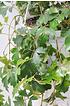 Russischer Wein (Ellen Danica) Ampel - Cissus Ellen Danica (2)
