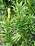 Säulen-Kopfeibe (Fastigiata) - Cephalotaxus harringtonia Fastigiata (2)