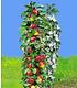 Säulen-Obst-Kollektion Apfel & Zwetschge,2 Pflanzen (2)