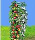 Säulen-Obst Kollektion Birne & Apfel,2 Pflanzen (2)