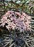 Schwarzer Holunder (Black - Lace®) Sambucus nigra Black Lace (2)