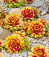 "Sempervivum-Mix ""Chick Charms®"" mit 2 Gold Nugget,9 Pflanzen (2)"