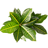 Sense of Home Croton Petra vertakt (2)