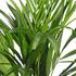 Sense of Home Dypsis lutescens (Areca) ohne Übertopf (3)