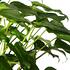 Sense of Home Philodendron xanadu ohne Übertopf (2)