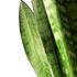 Sense of Home Sansevieria zeylanica ohne Übertopf (2)