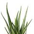 Sense of Home Zimmerpflanze Aloe vera ohne Übertopf (2)