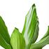 Sense of Home Zimmerpflanze Drachenbaum 'Steudneri' ohne Übertopf (2)