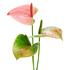 Sense of Home Zimmerpflanze GroßeFlamingoblume pink (2)
