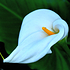 Sense of Home Zimmerpflanze GroßeFlamingoblume weiß (2)