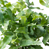 Sense of Home Zimmerpflanze Tüpfelfarn 'Blue Star' ohne Übertopf (2)