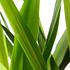 Sense of Home Zimmerpflanze Yucca-Palme ohne Übertopf (2)