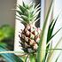 Sense of Home Zimmerpflanze Zierananas (2)