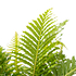 Sense of Home Zimmerpflanze Zwerg-Baumfarn 'Silver Lady' ohne Übertopf (2)