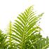 Sense of Home Zimmerpflanze Zwerg-Baumfarn 'Silver Lady' ohne Übertopf (3)