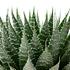 Sense of Home ZimmerpflanzeAloe aristata ohne Übertopf (2)