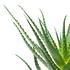 Sense of Home ZimmerpflanzeBaum-Aloe ohne Übertopf (2)