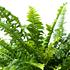 Sense of Home ZimmerpflanzeSchwertfarn 'Green Lady' ohne Übertopf (2)