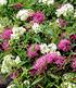 """Spiere """"Harlekin Shirobana"""",1 Pflanze (2)"""