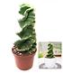 """Spiral-Kaktus """"Cereus"""",1 Pflanze (2)"""