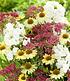 """Stauden-Mix """"Bienenfreund"""",3 Pflanzen (2)"""