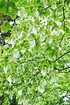 Taschentuchbaum (Taubenbaum) - Davidia involucrata (2)
