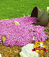 "Teppichphlox ""Emerald Pink"" 50 Stk.,50 Pflanzen (2)"