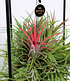 "Tillandsia ""Magic Ball"",1 Set (2)"