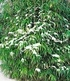 Winterharte Bambus-Hecke im 2-Liter Container,10 Pflanzen (2)