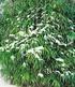 Winterharte Bambus-Hecke im 2-Liter Container,5 Pflanzen (2)